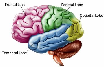 brain lobes - Northern Brain Injury Association | British ...